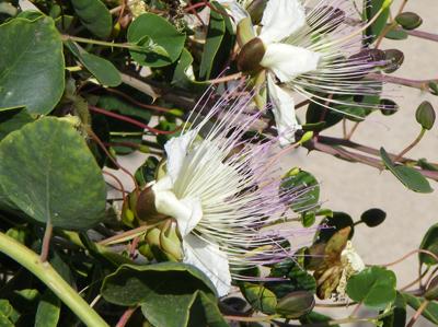 isole-eolie-fiore-cappero1